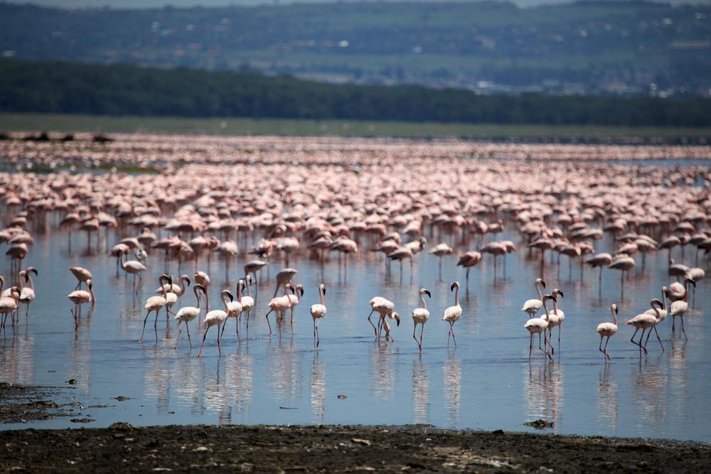 Kenia - Nukuru